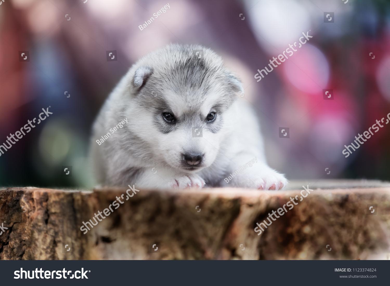 Portrait Siberian Husky Puppy Young Grey Stock Photo Edit Now 1123374824