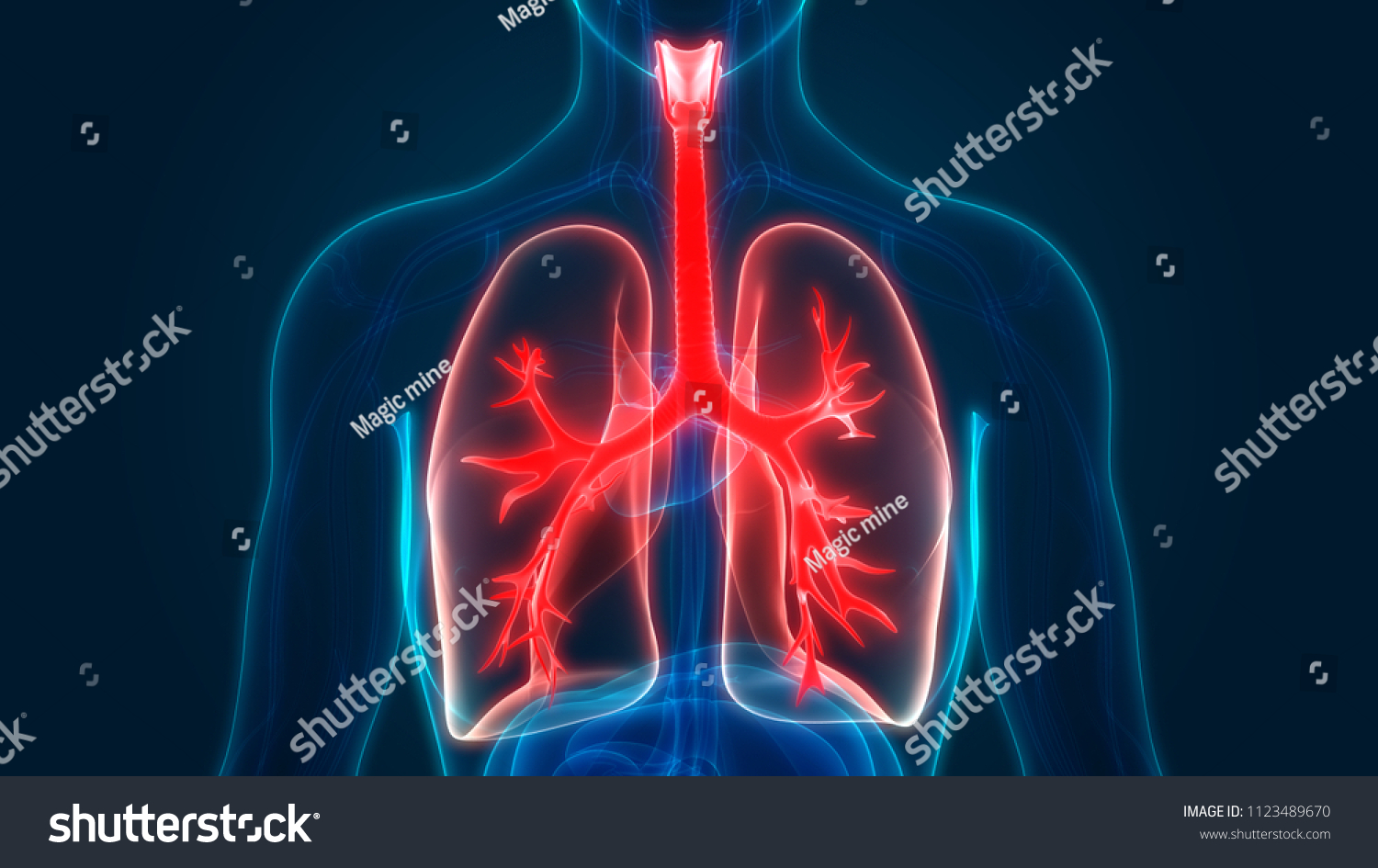 Human Respiratory System Lungs Anatomy 3 D Stock Illustration