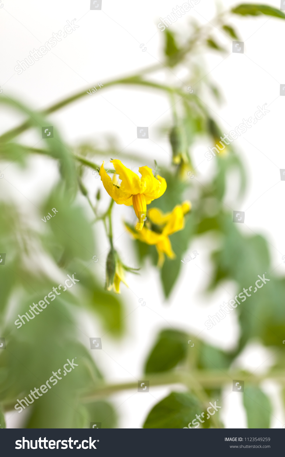 Twig Of Tomato Plant With Yellow Flowers On White Background Ez Canvas