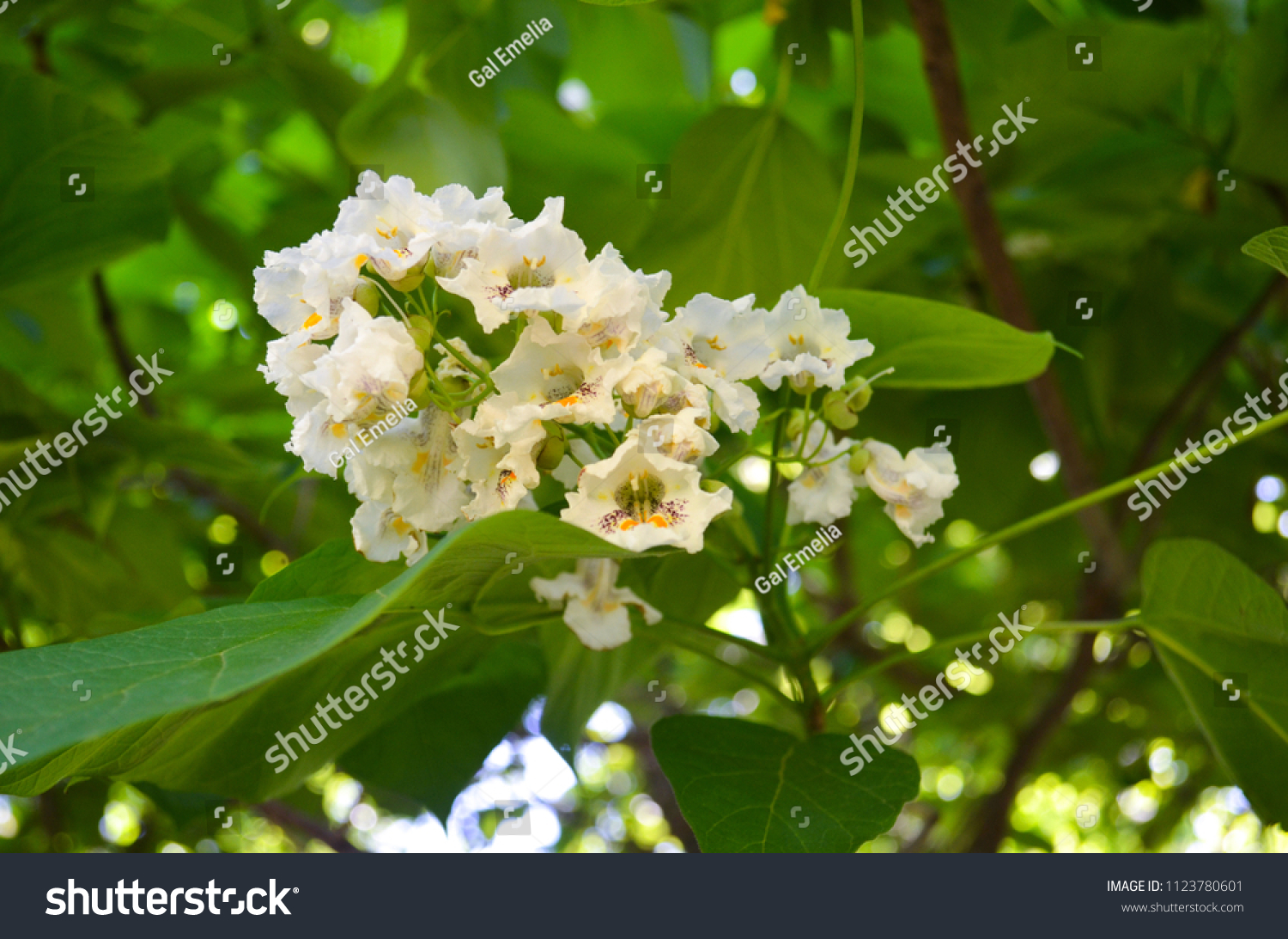 Catalpa Tree Green Heartshaped Leaves Showy Stock Photo Edit Now