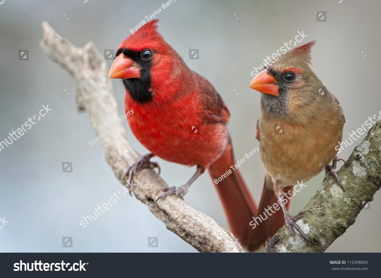 Cardinal Rule Female Birds Sing Too  Scientific American