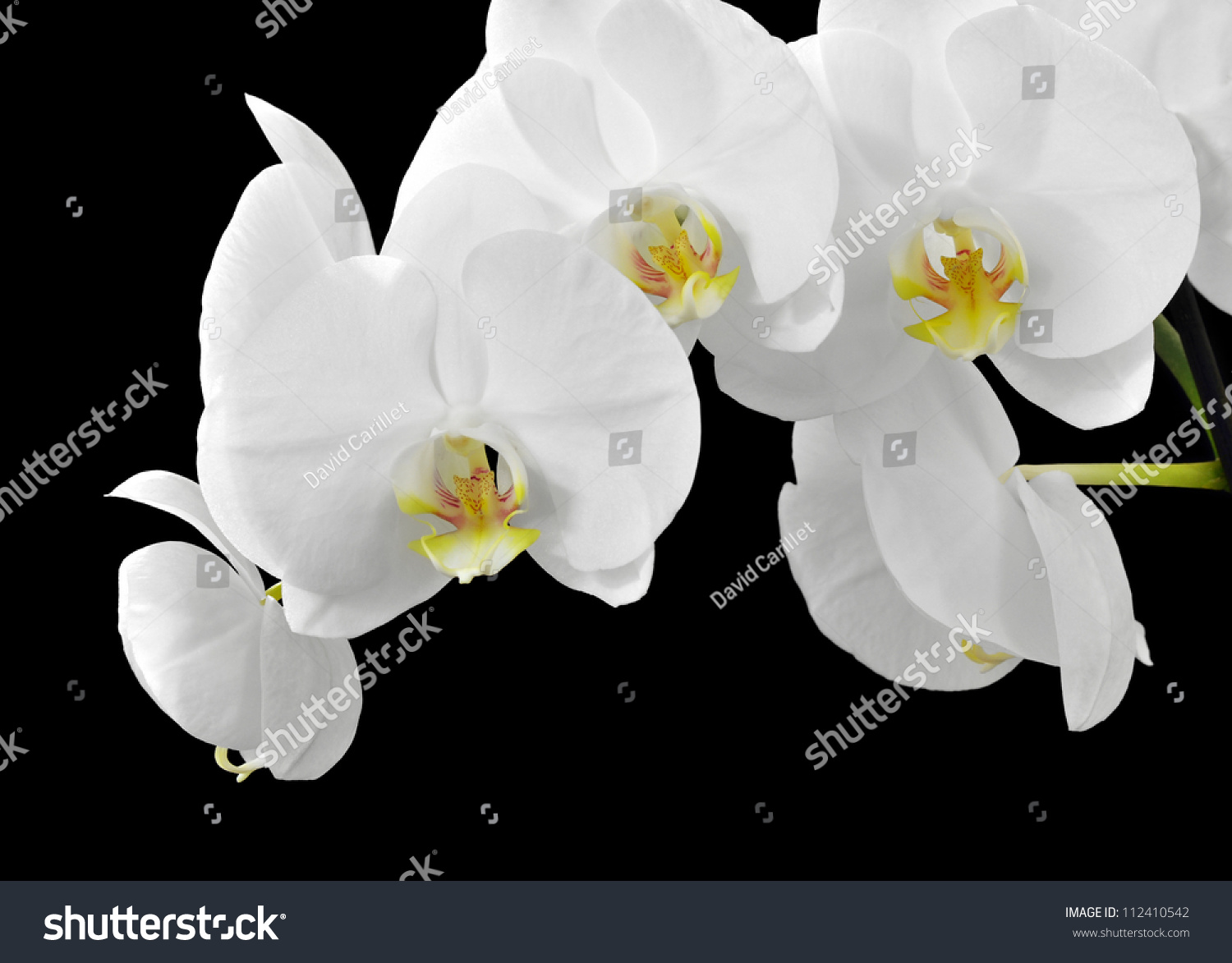 Delicate White Orchid Flowers On Black Stock Photo Edit Now