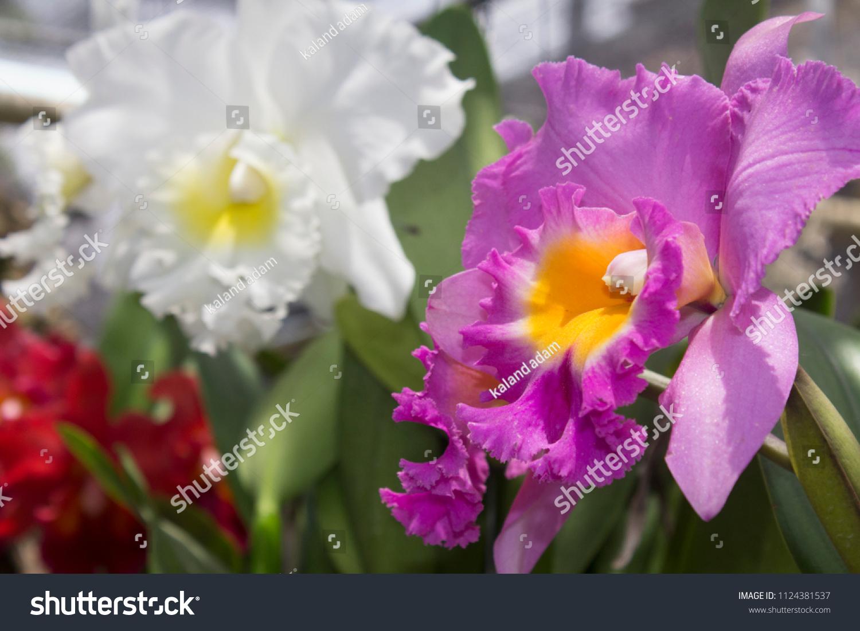 Scientific Name Cattleya John Lindley Beautiful Stock Photo Edit