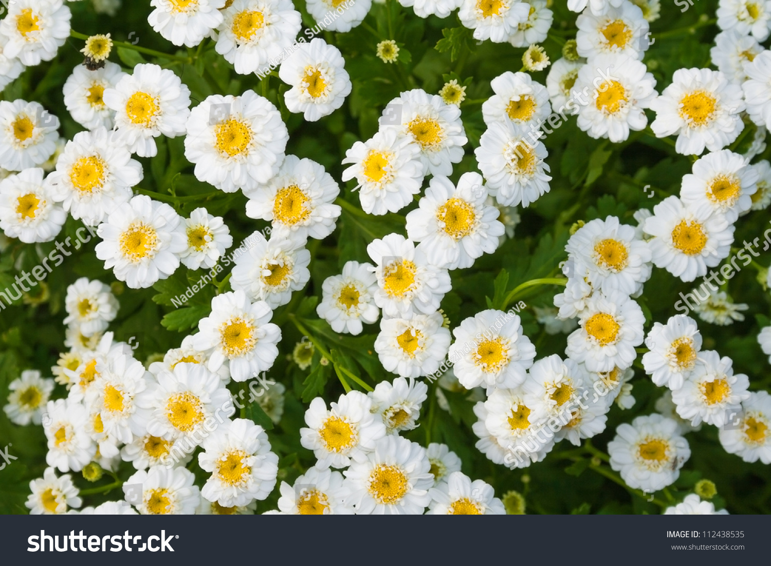Closeup Flower Bed White Flowers Stock Photo Edit Now 112438535