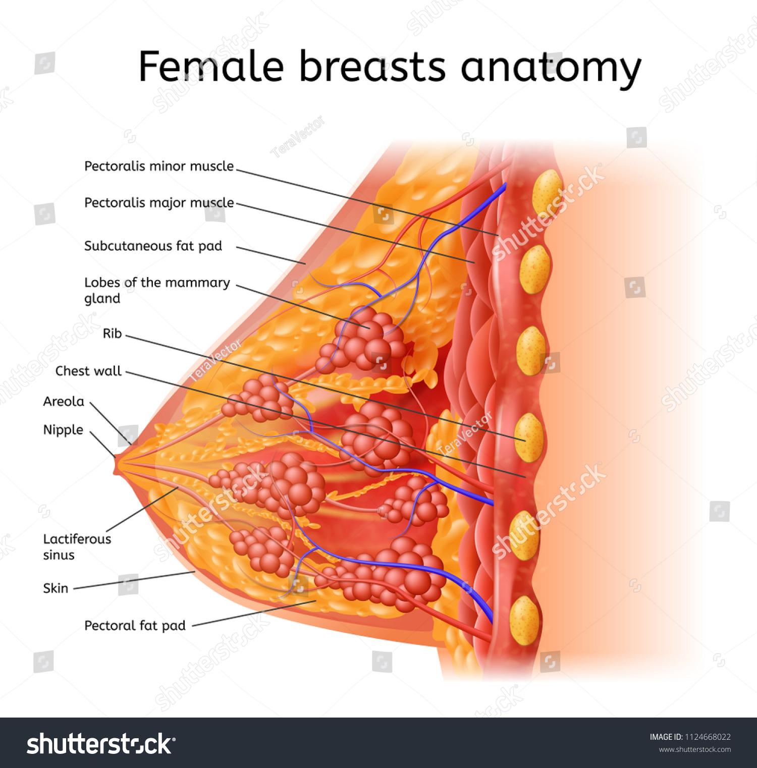 Human Female Breast Anatomy Detailed Vector Stock Vector 1124668022 ...