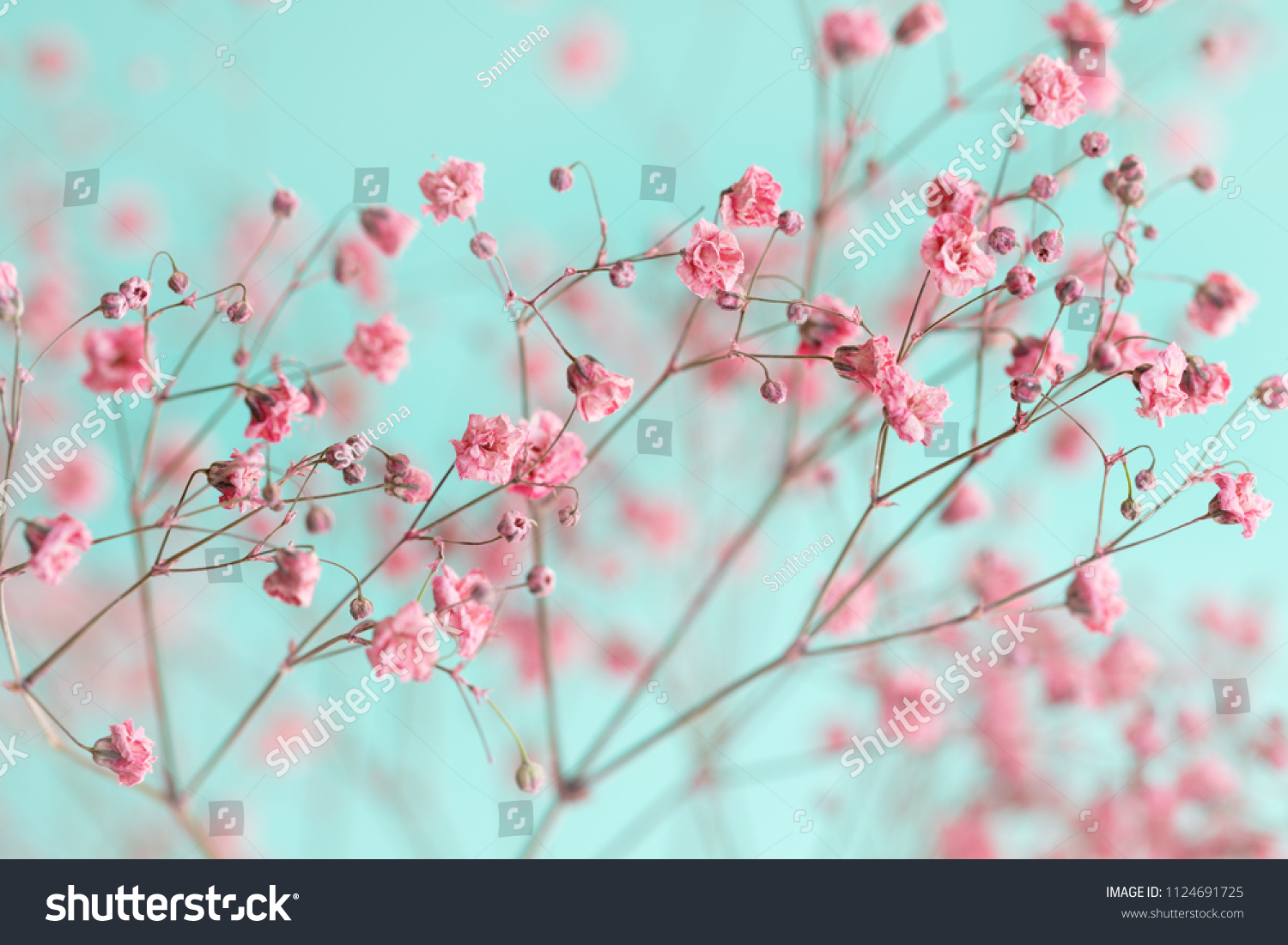 Dry Pink Babys Breath Flowers Against Stock Photo Edit Now
