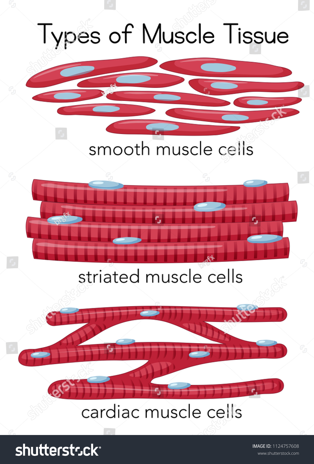Types Muscle Tissue Illustration Stock Vector Royalty Free