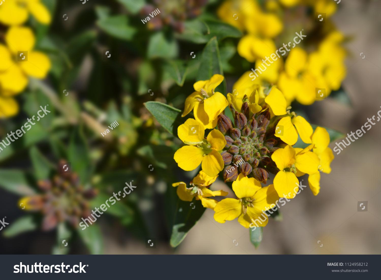 Alpine Wallflower Yellow Flowers Latin Name Stock Photo Edit Now