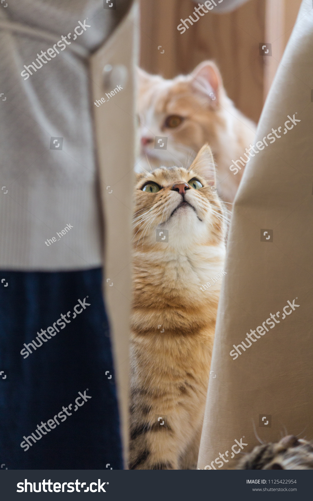 Cat Awaiting Be Feeded Mocha Cat Stock Photo Edit Now 1125422954