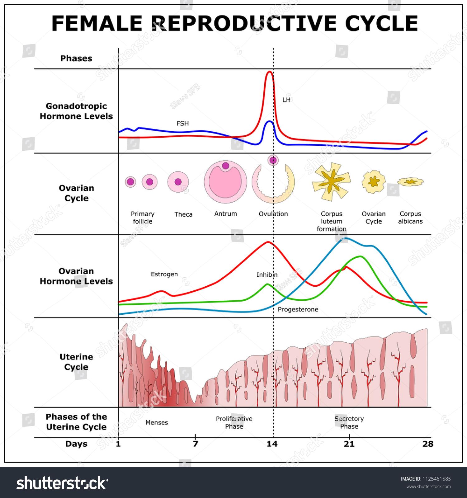 Female Reproductive Cyclecolor Vector Scheme Stock Vector Royalty