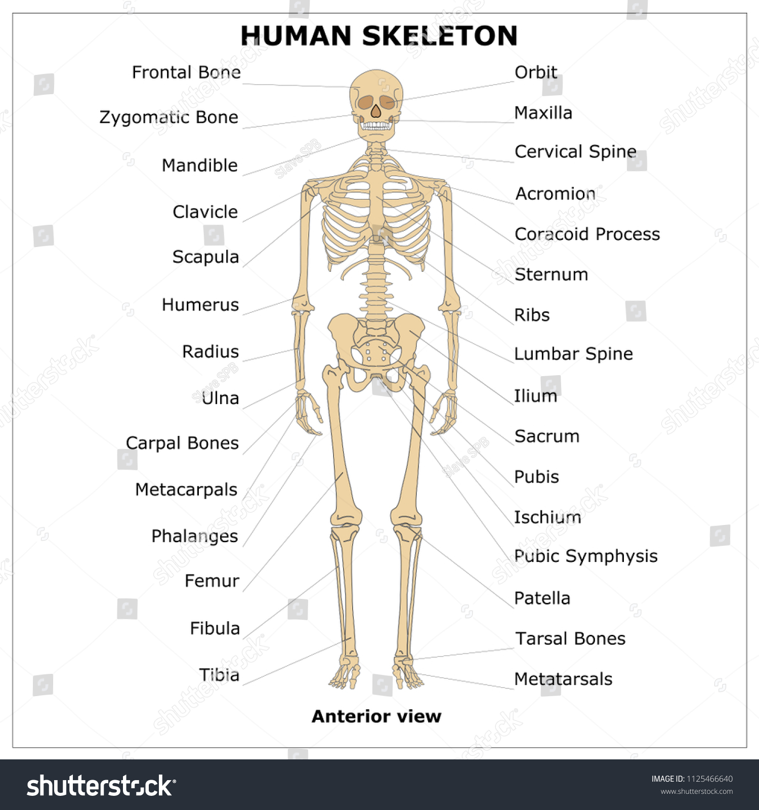 Human Skeleton Anterior Viewcolor Vector Illustration Stock Vector