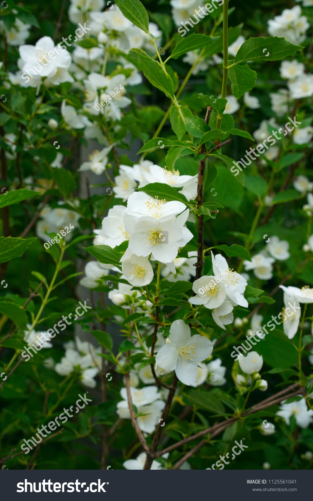 White Bell Flowers Campanula Persicifolia Background Stock Photo