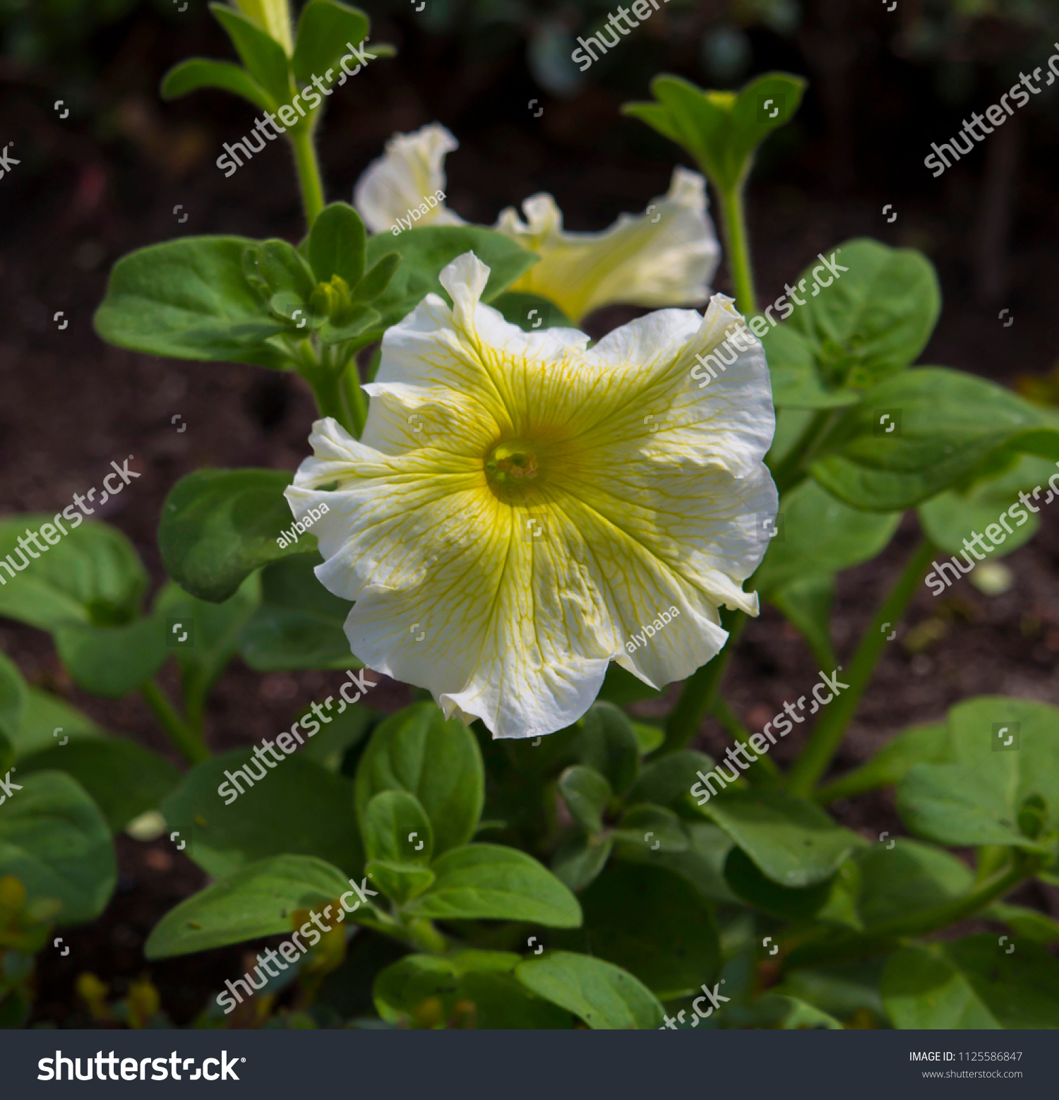 Cheerful Single Buttercup Yellow Flowers Annual Stock Photo Edit