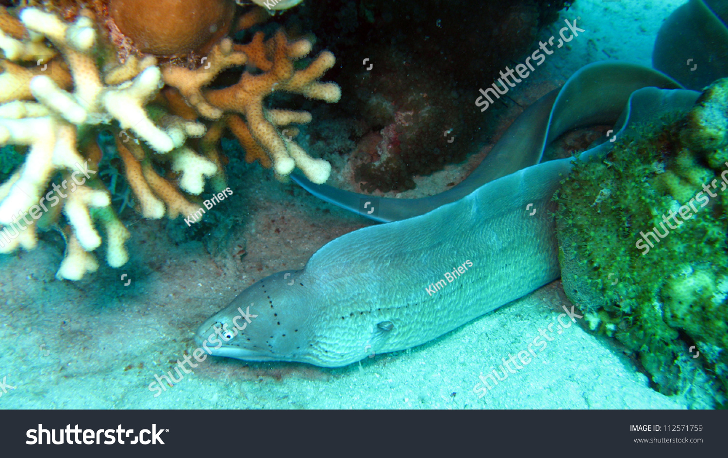 Poisson Martine 5/05 trouvé par Snoopie Stock-photo-grey-moray-gymnothorax-griseus-112571759