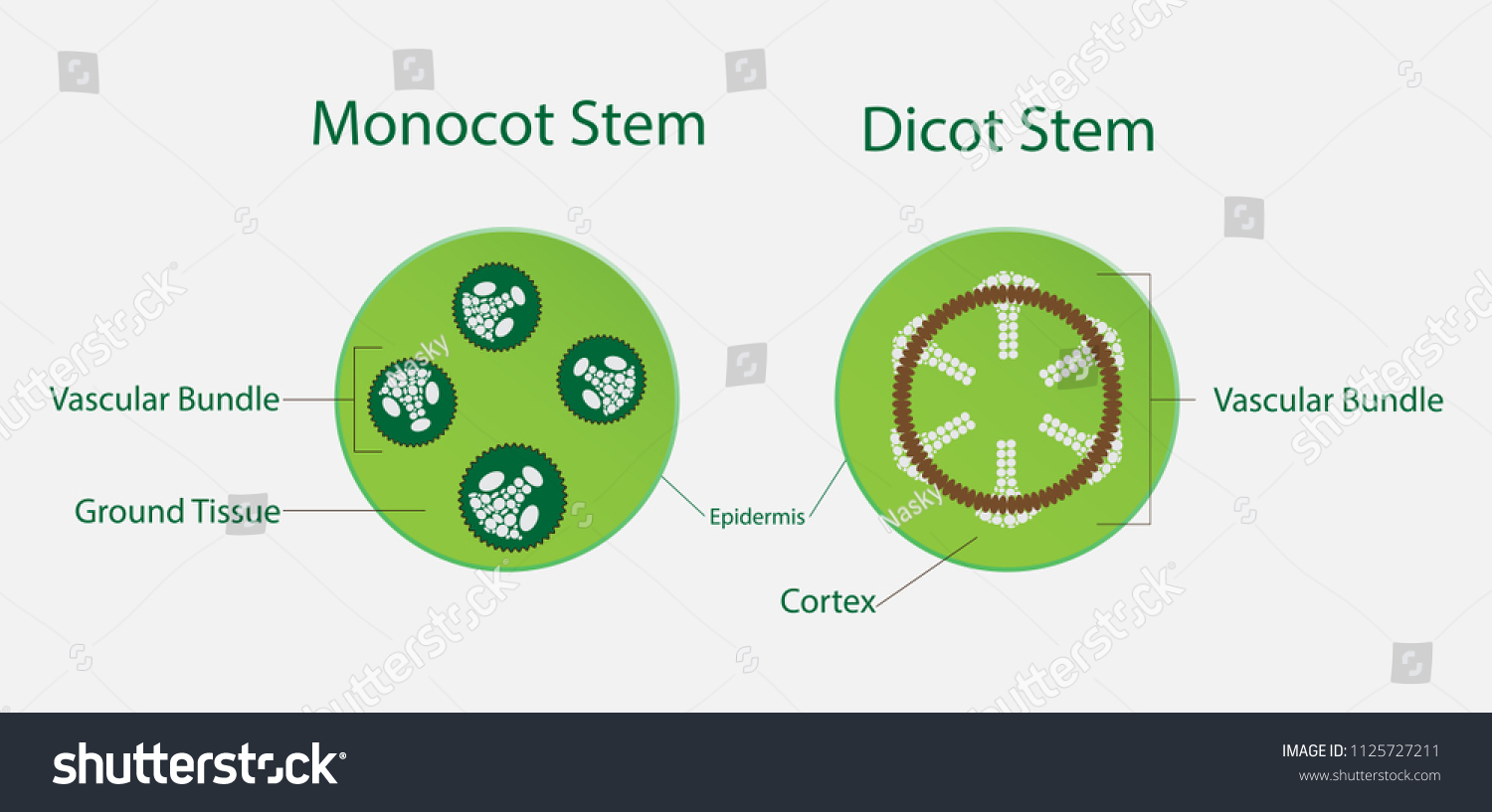 Magnificent Anatomy Of Monocot Stem Photo Anatomy And Physiology