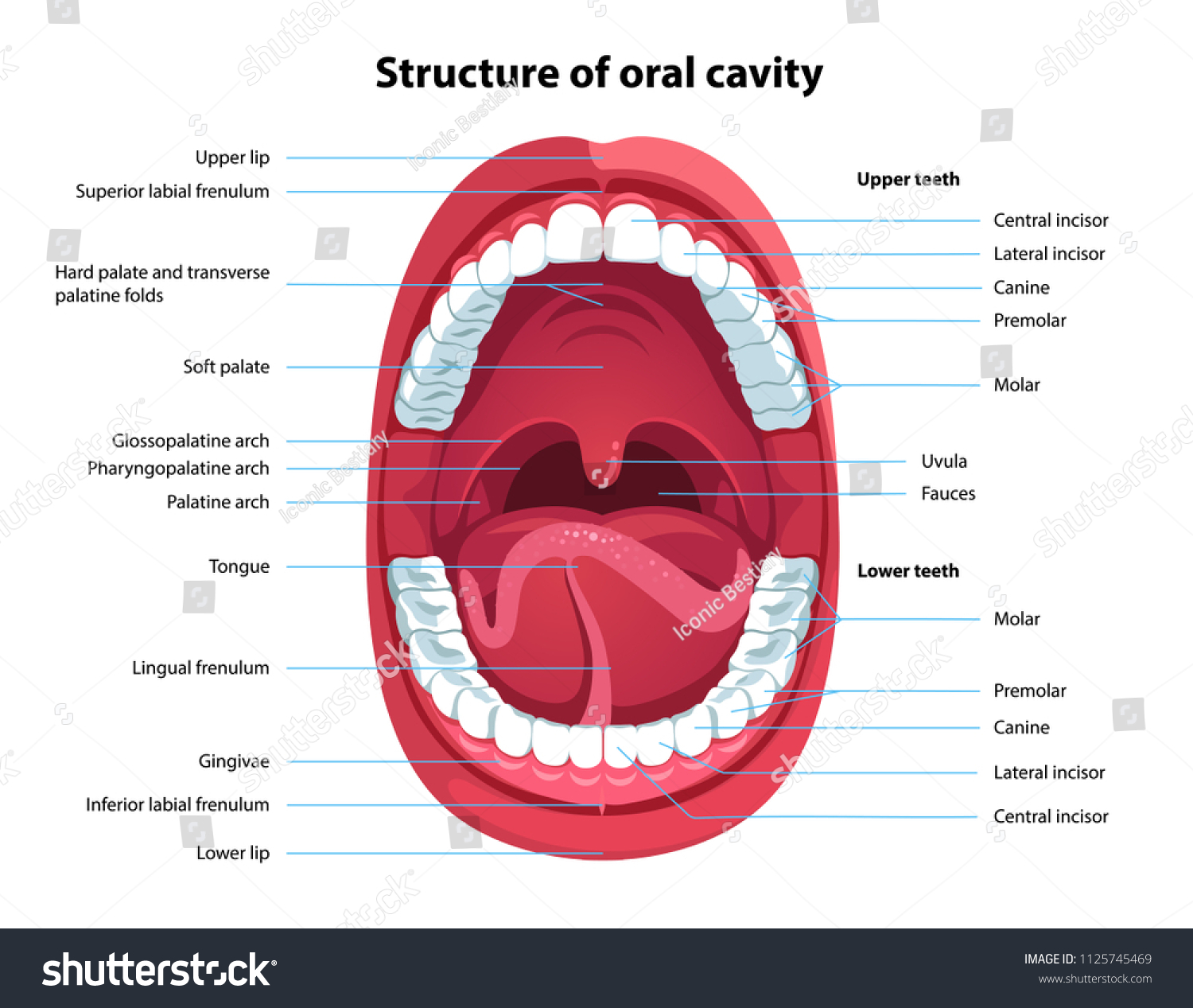 Structure Oral Cavity Human Mouth Anatomy Stock Vector 1125745469 ...