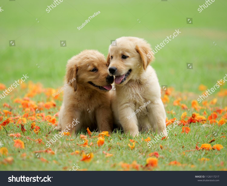 Cute Puppy Golden Retriever Running Park Stock Photo Edit Now 1126117217