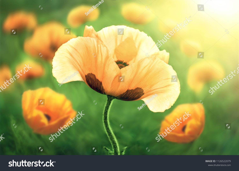 Flower Poppy Flowering On Background Poppies Stock Photo Edit Now