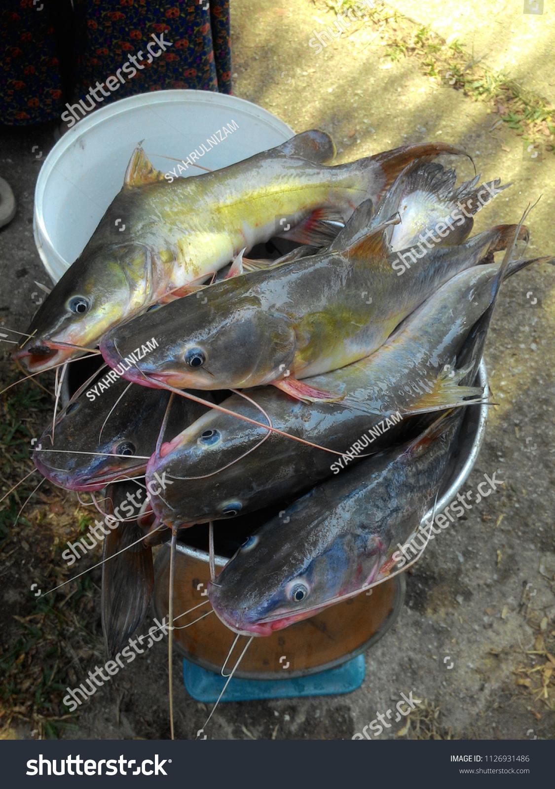 Fresh River Catfish Known Ikan Baung Stock Photo Edit Now 1126931486