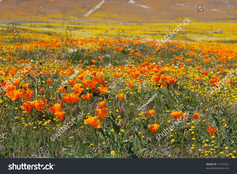spring wildflowers in antelope - photo #9