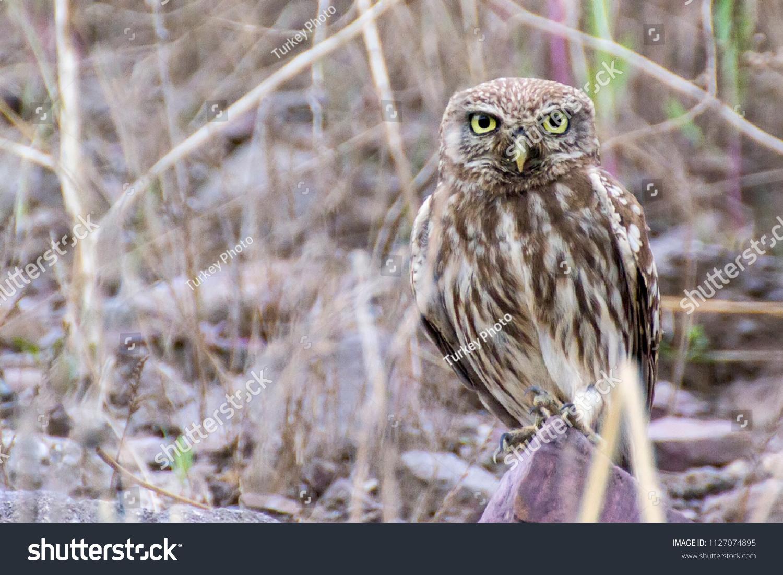 stock-photo-little-owl-looking-around-ca