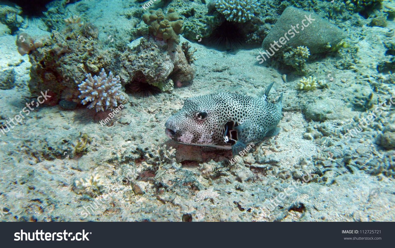 Mbu Pufferfish Giant Pufferfish Or Giant Freshwater