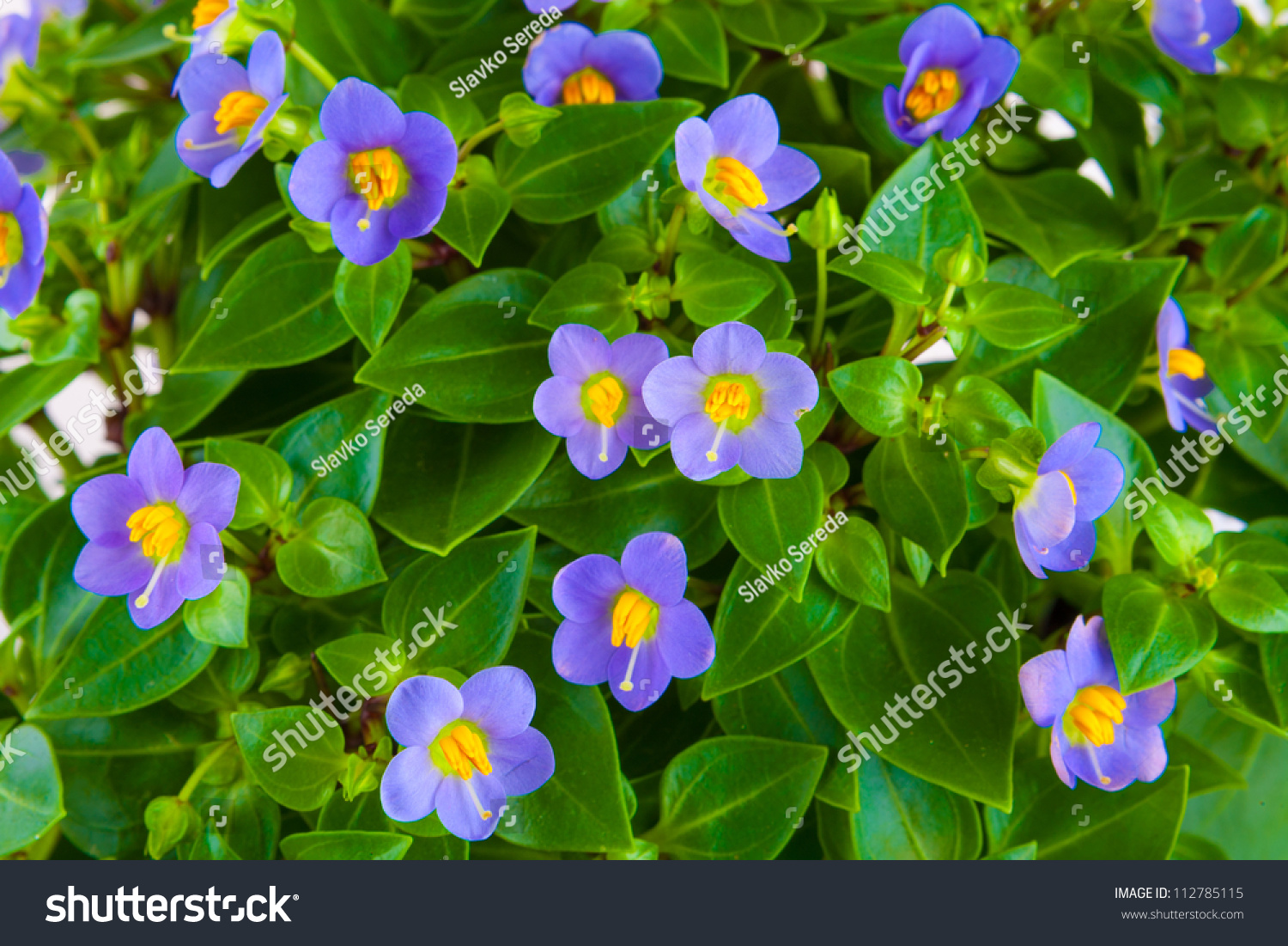 Small purple flowers exacum tropical plant stock photo edit now small purple flowers exacum tropical plant in a pot isolated on white background mightylinksfo