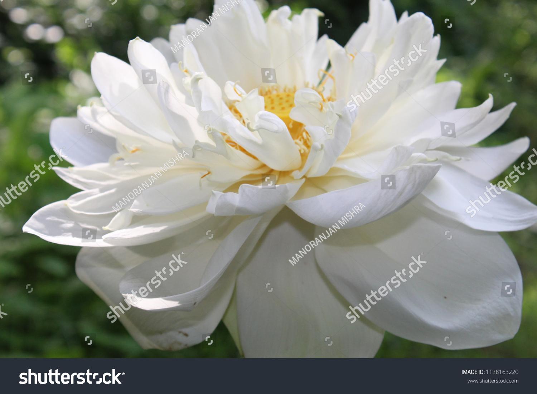 Closeup macro details beautiful white lotus scientific name nelumbo close upmacro details of beautiful white lotusscientific name nelumbo izmirmasajfo