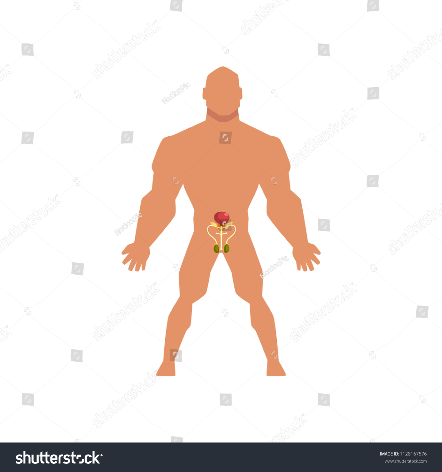 Male biological sexual system, anatomy of human body vector Illustration on  a white background
