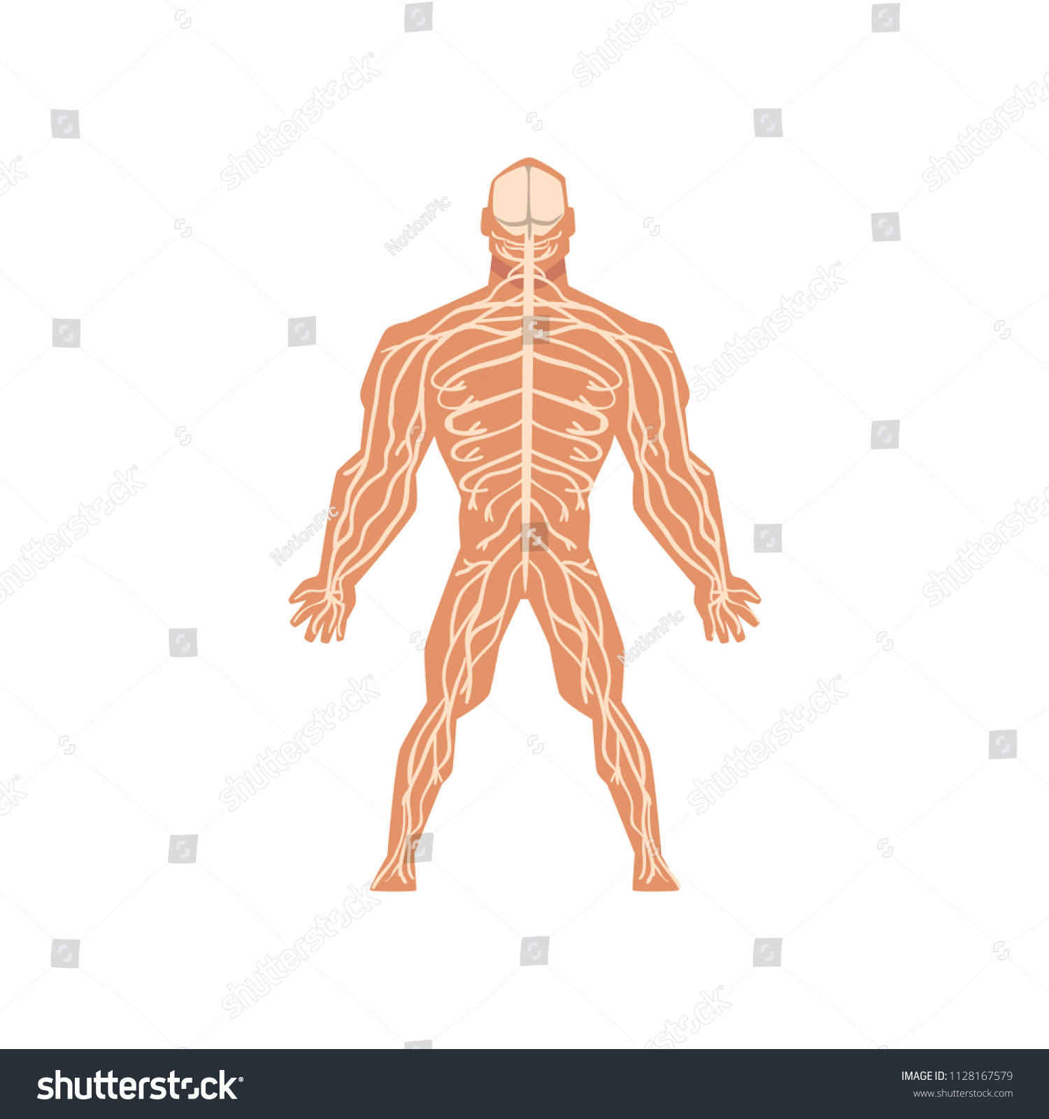 Human Biological Nervous System Anatomy Human Stock Vektorgrafik