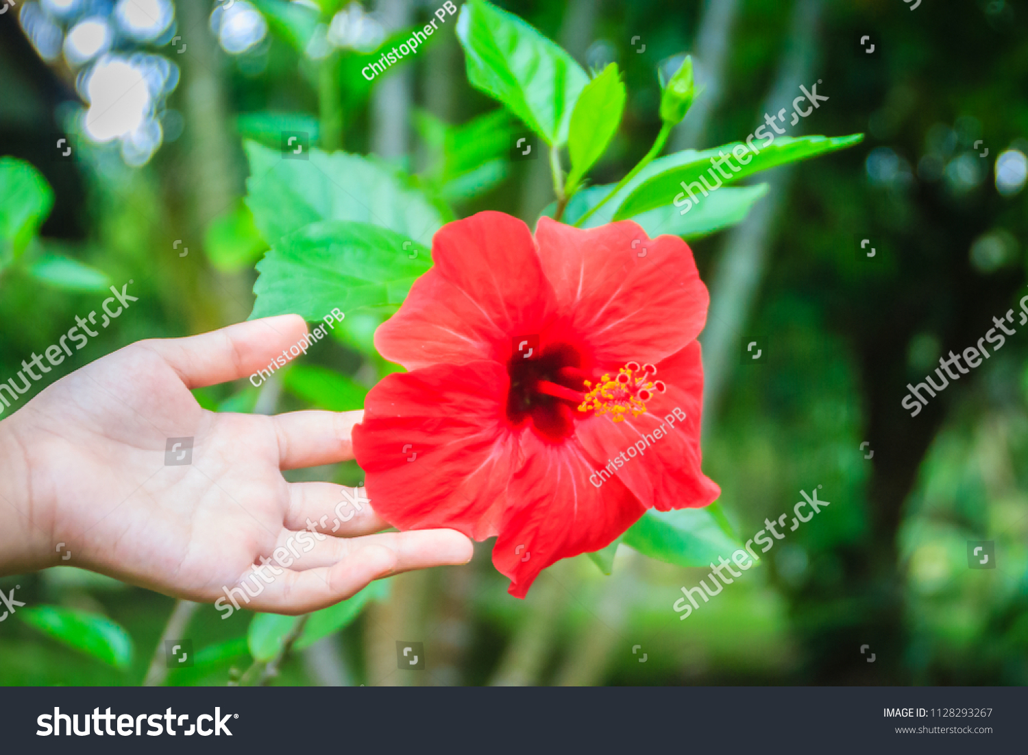 Red Hybrid Hibiscus Rosa Sinensis Flower Known Stock Photo Edit Now