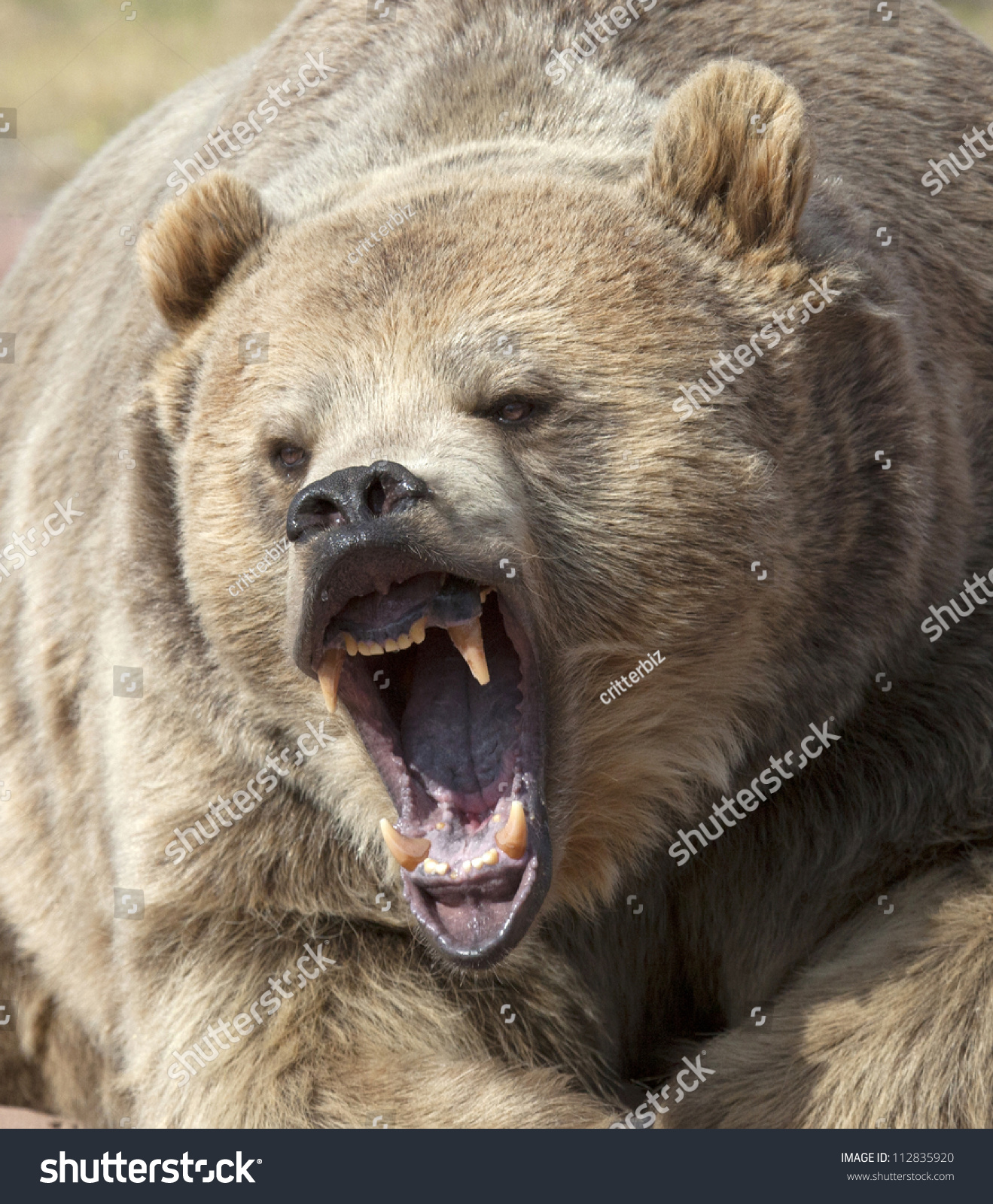 Angry Grizzly Bear Face bear head stock photos, images, & pictures ... Grizzly Bear Face Logo