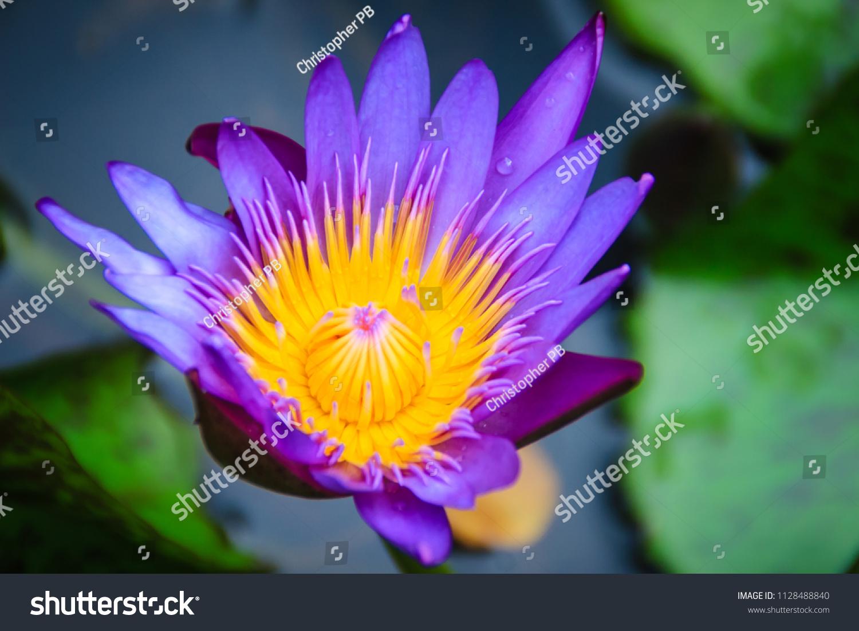 Close Hybrid Purple Lotus Flower Tropical Stock Photo Edit Now