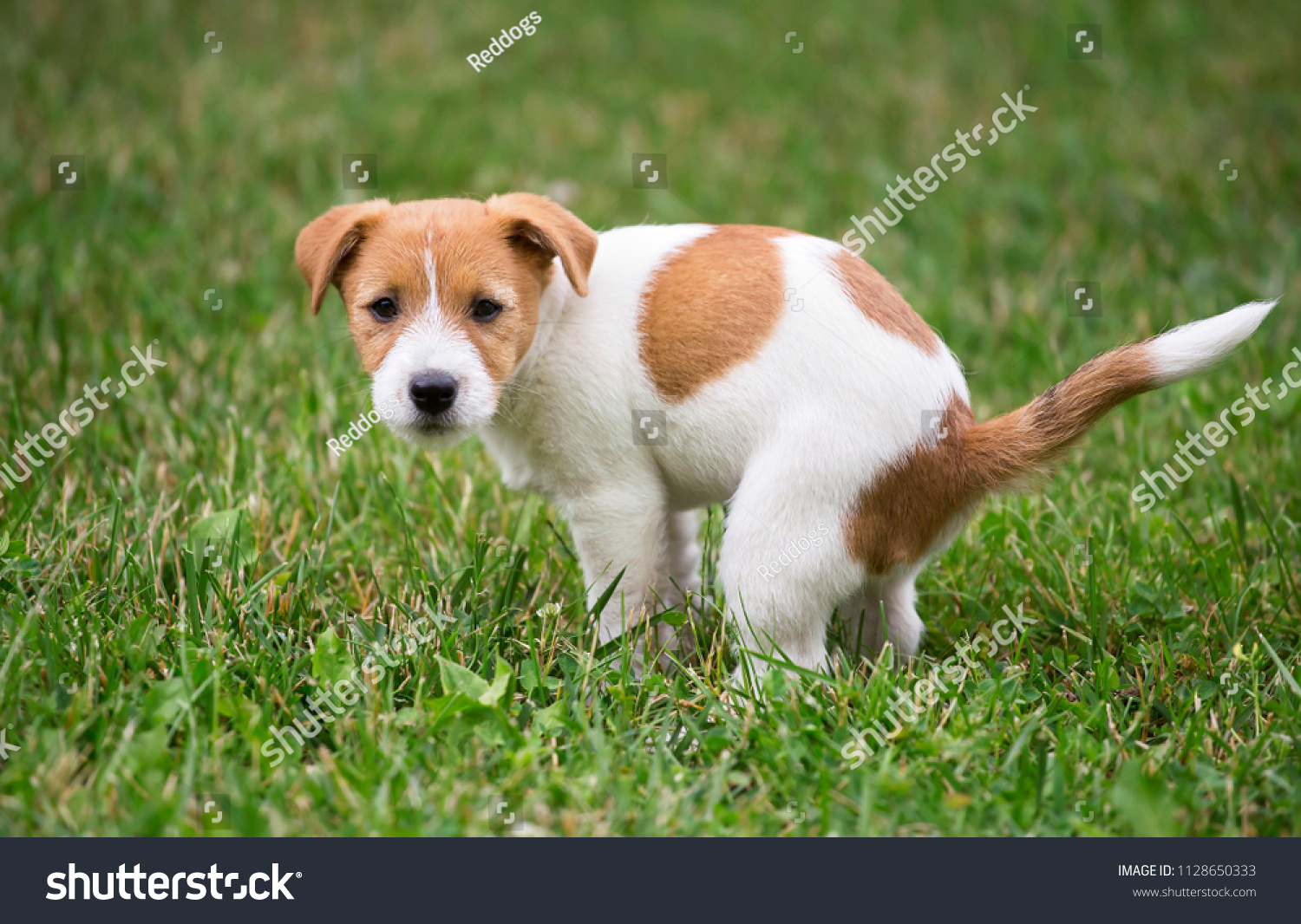 Cute Jack Russell Terrier Dog Puppy Stock Photo Edit Now 1128650333