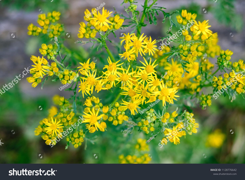 Ragwort Stinking Willie Flowers Common Medow Stock Photo Edit Now