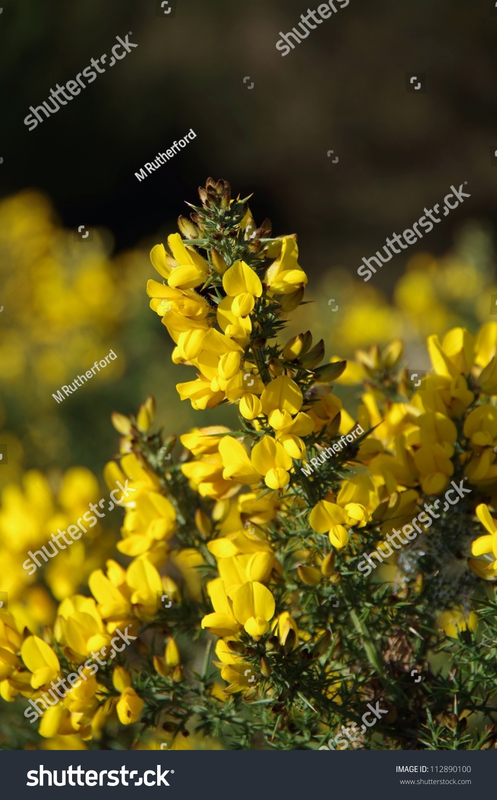 Beautiful Spring Flower Hedge Rows Europe Stock Photo Edit Now