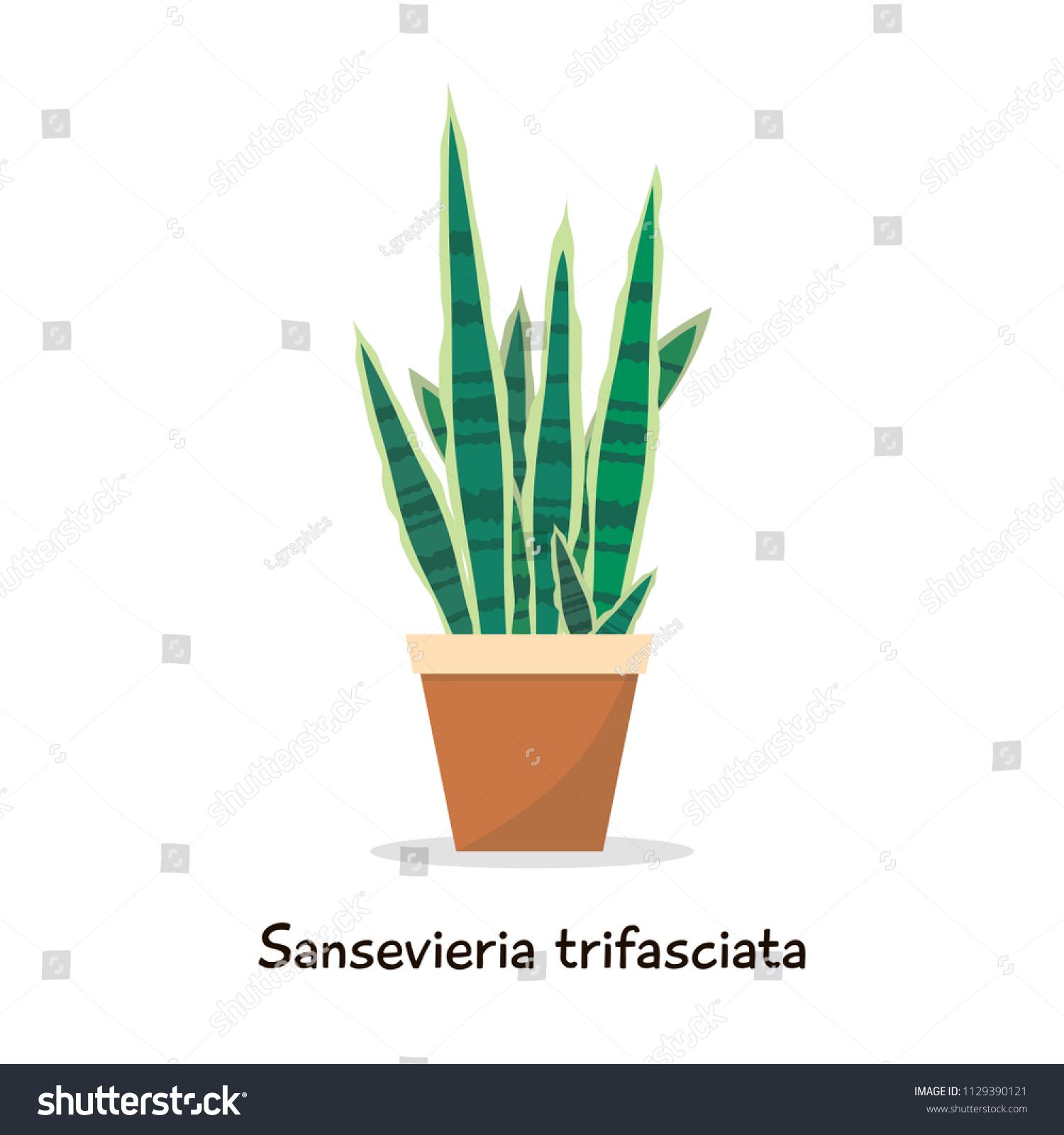 Sansevieria Plant Feng Shui motherinlaw tongue snake plant sansevieria flat stock image