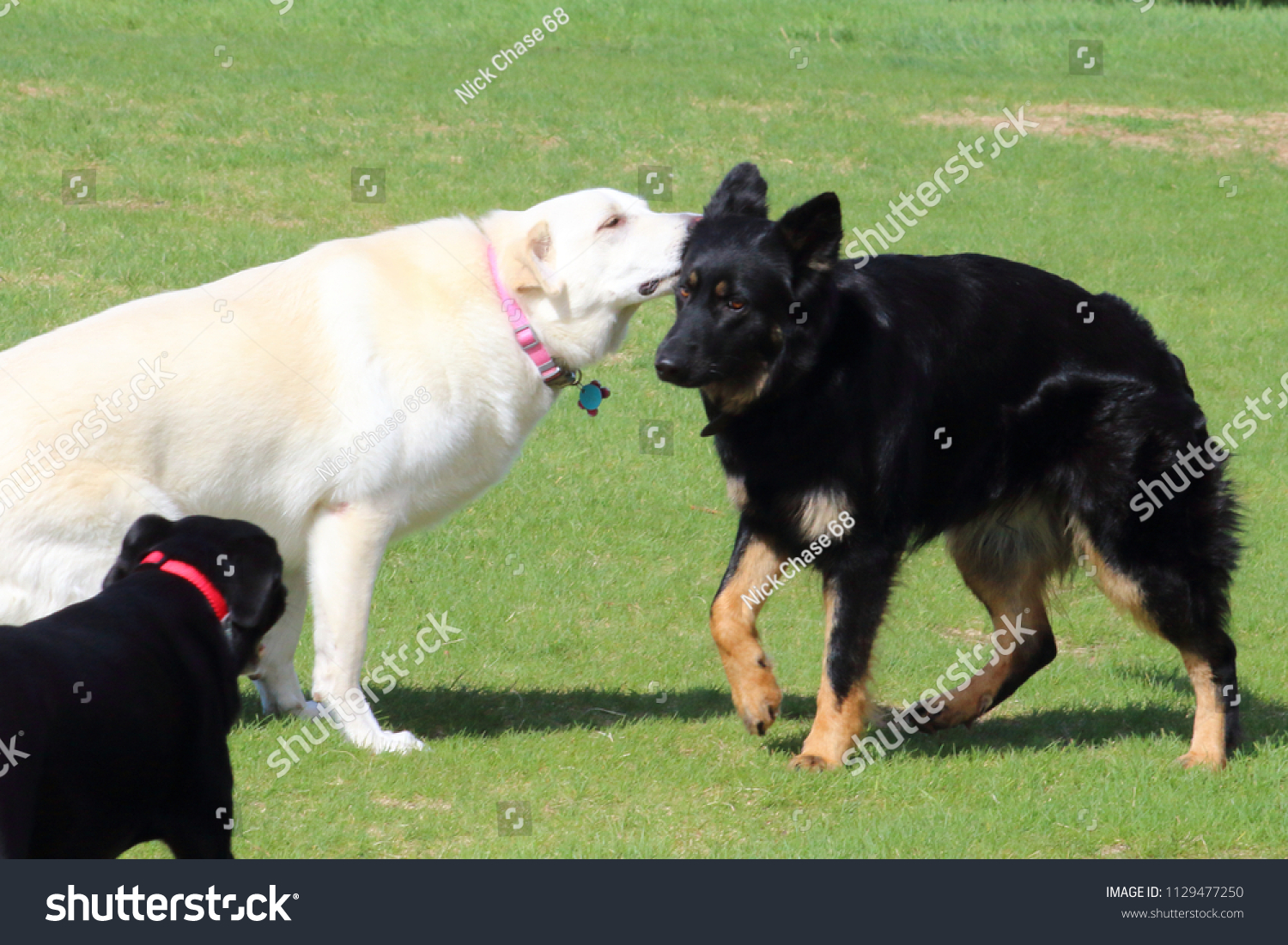 Yellow Labrador Mix Sniffing Young German Stock Photo Edit Now