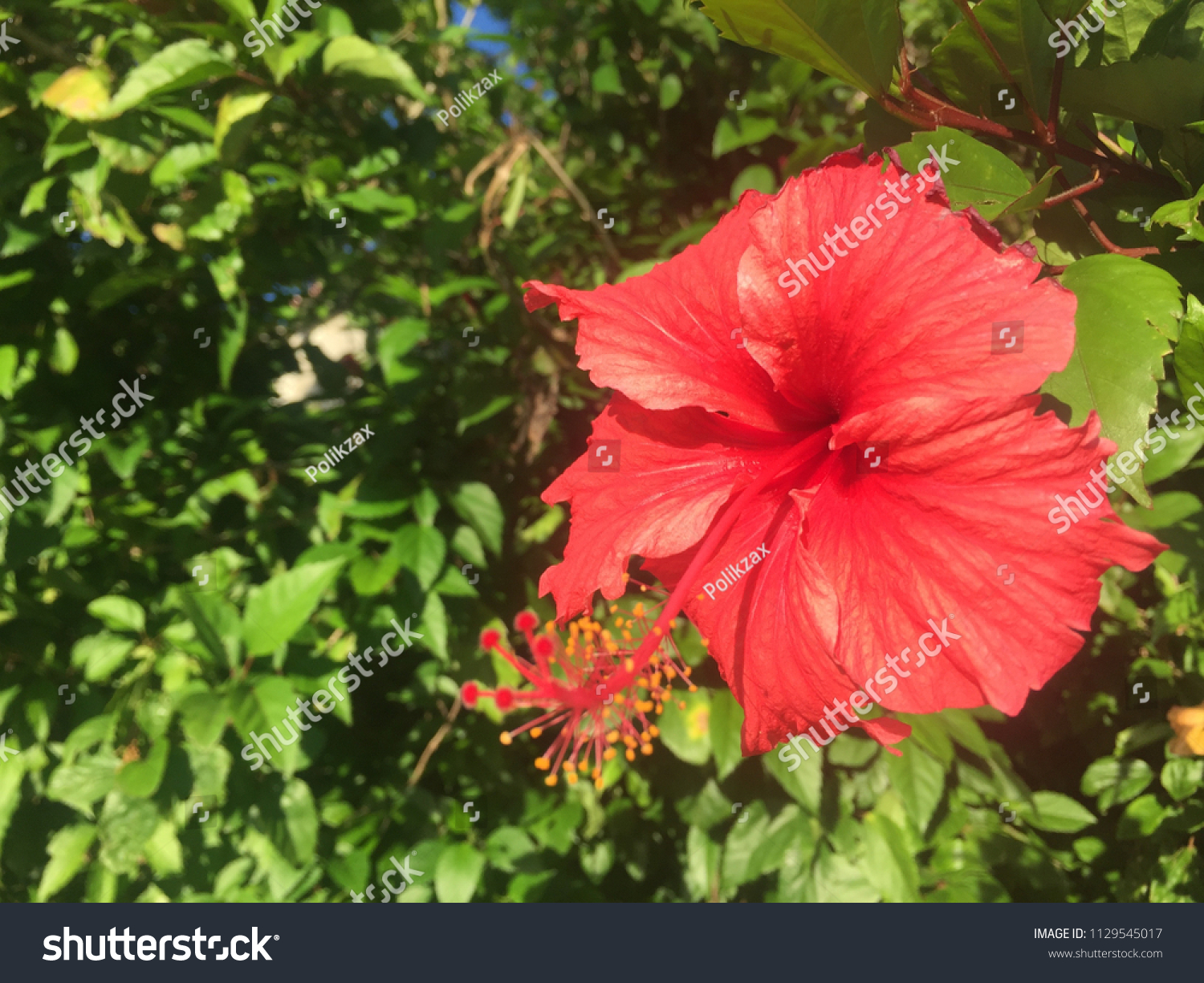 Large Red Flower Puerto Rican Hibiscus Stock Photo Edit Now 1129545017
