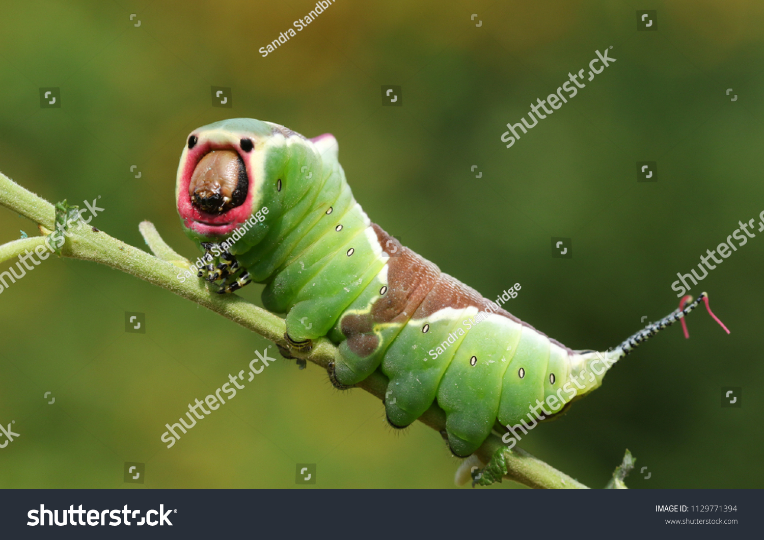 A stunning Puss Moth Caterpillar (Cerura vinulais) perching on a twig in woodland . #1129771394