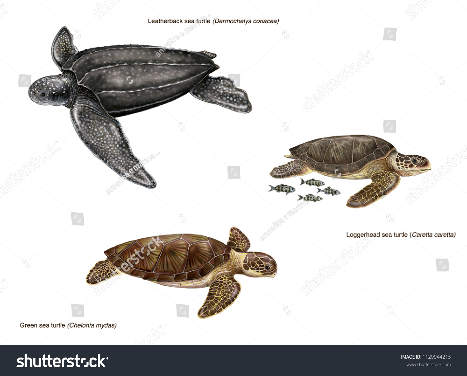 scientific illustration 3 species sea turtles stock illustration