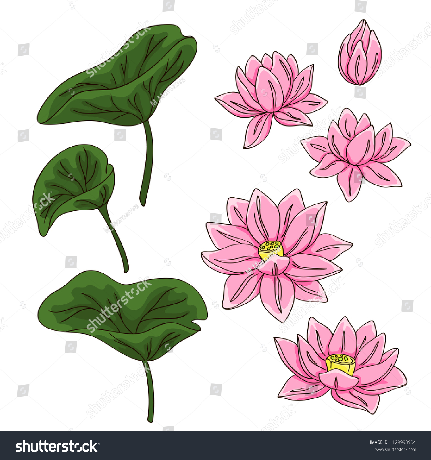 Vector contour color pink chinese lotus stock vector royalty free vector contour color pink chinese lotus flowers leaf asian symbol on white hand drawn elements set izmirmasajfo