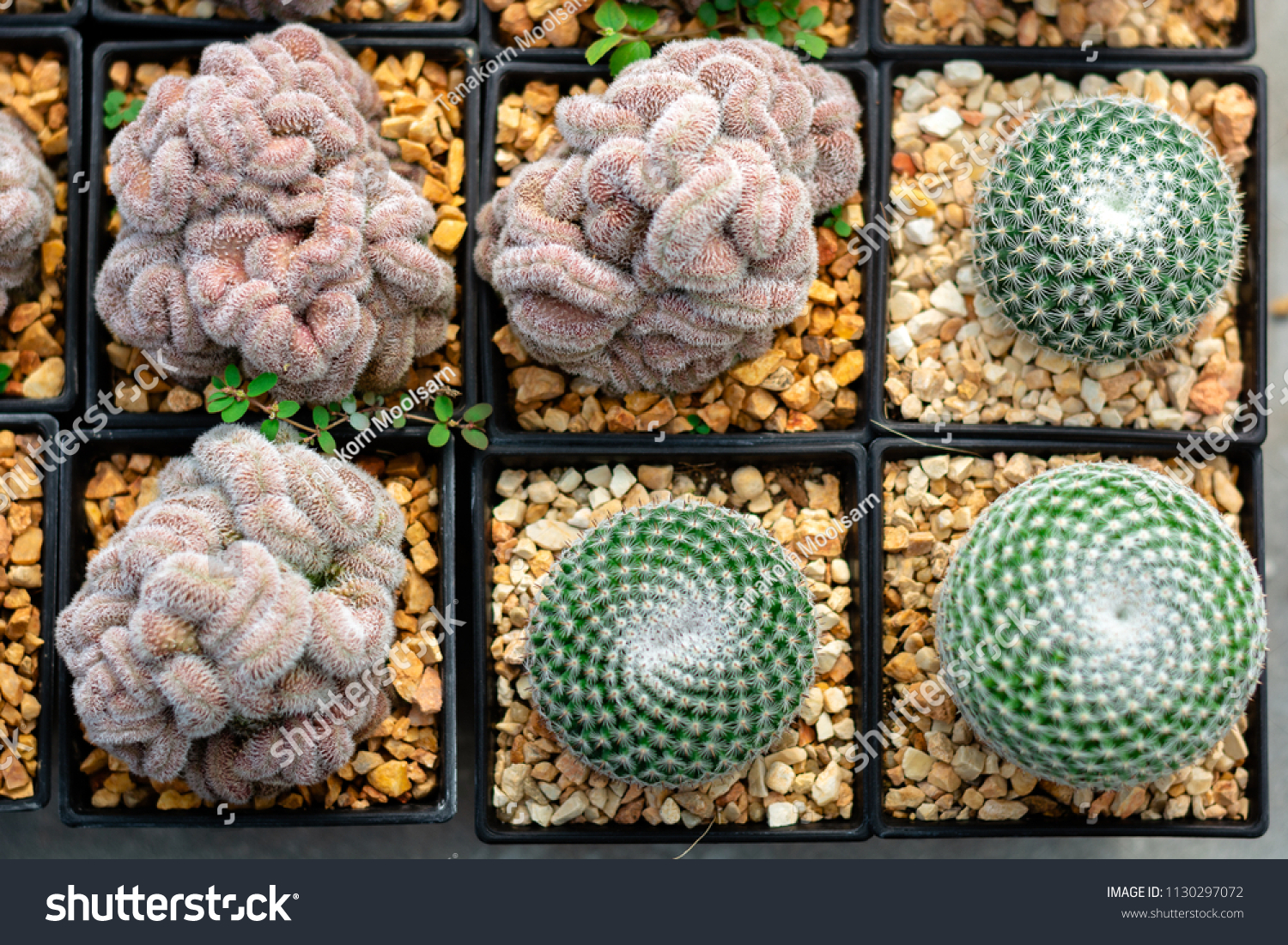 Cactus 2 types in small pot