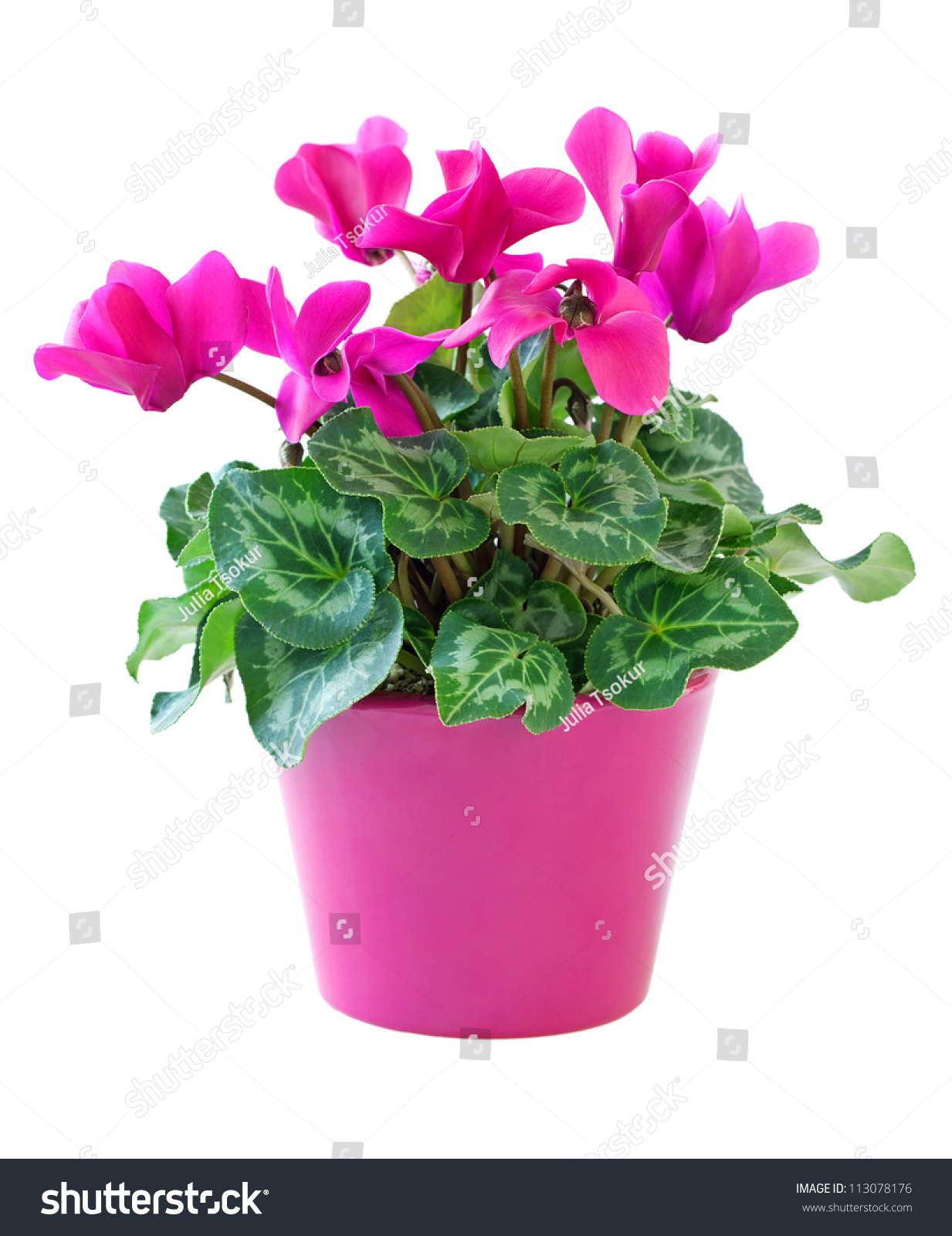 Royalty Free Pink Cyclamen In A Flower Pot Isolated 113078176