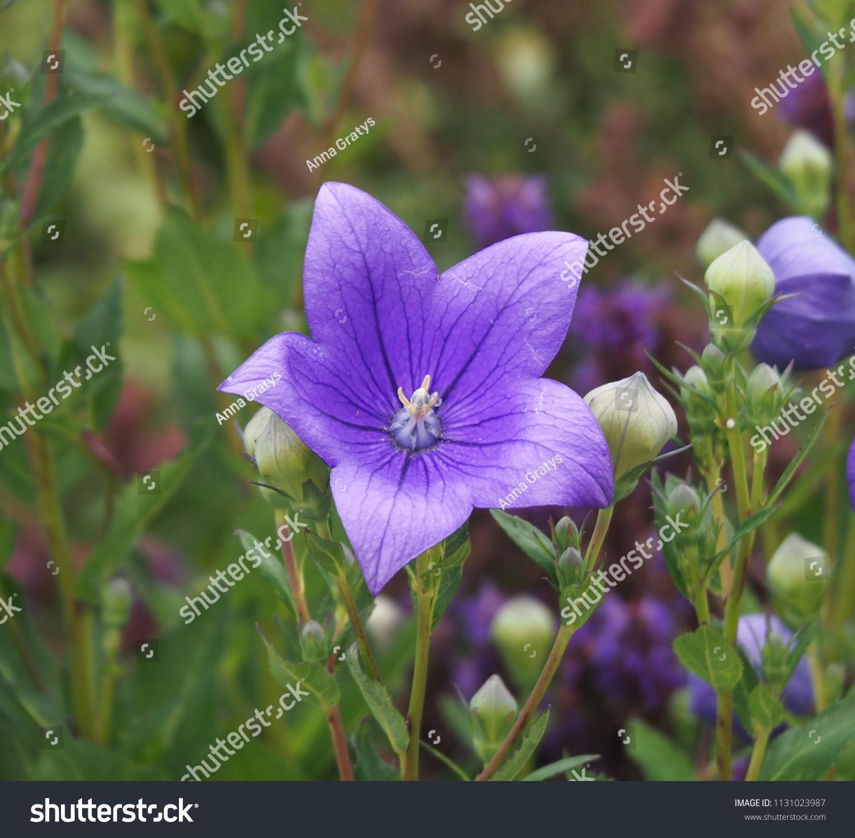 Platycodon Grandiflorus Astra Blue Balloon Flower Stock Photo Edit