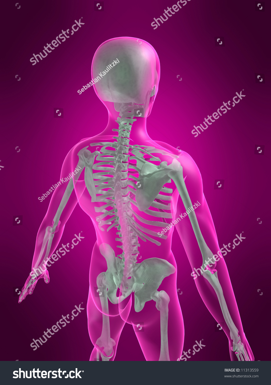 Human Skeleton Back View Stock Illustration Royalty Free Stock
