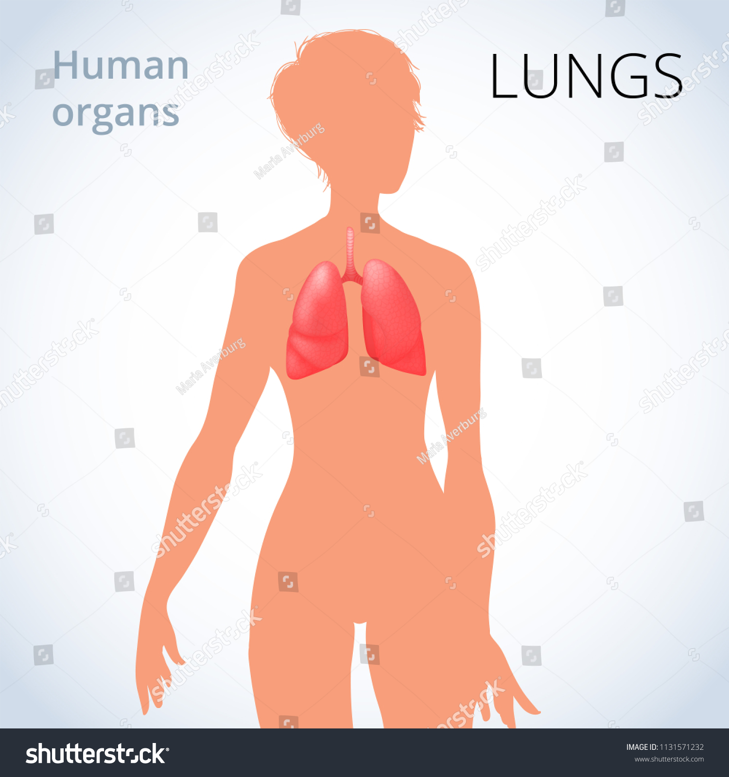 Location Lungs Female Body Human Respiratory Stock Illustration