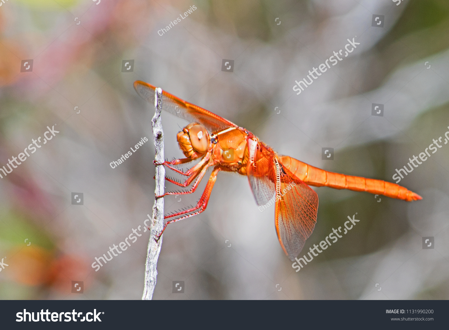 Arizona Red Skimmer DragonFly - Libellula saturata - perched on a twig.