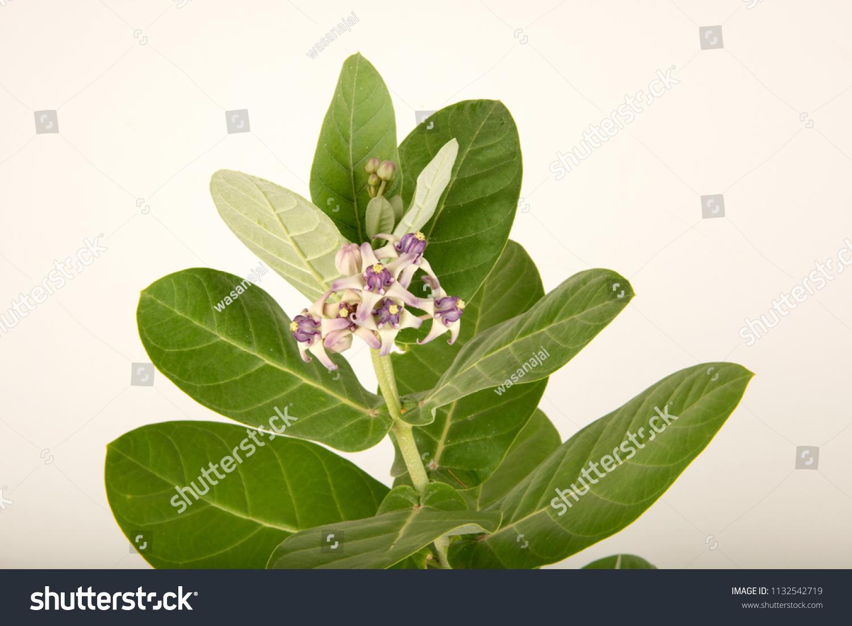 Crown Flower Calotropisflower Bouquet On Tree Stock Photo Edit Now