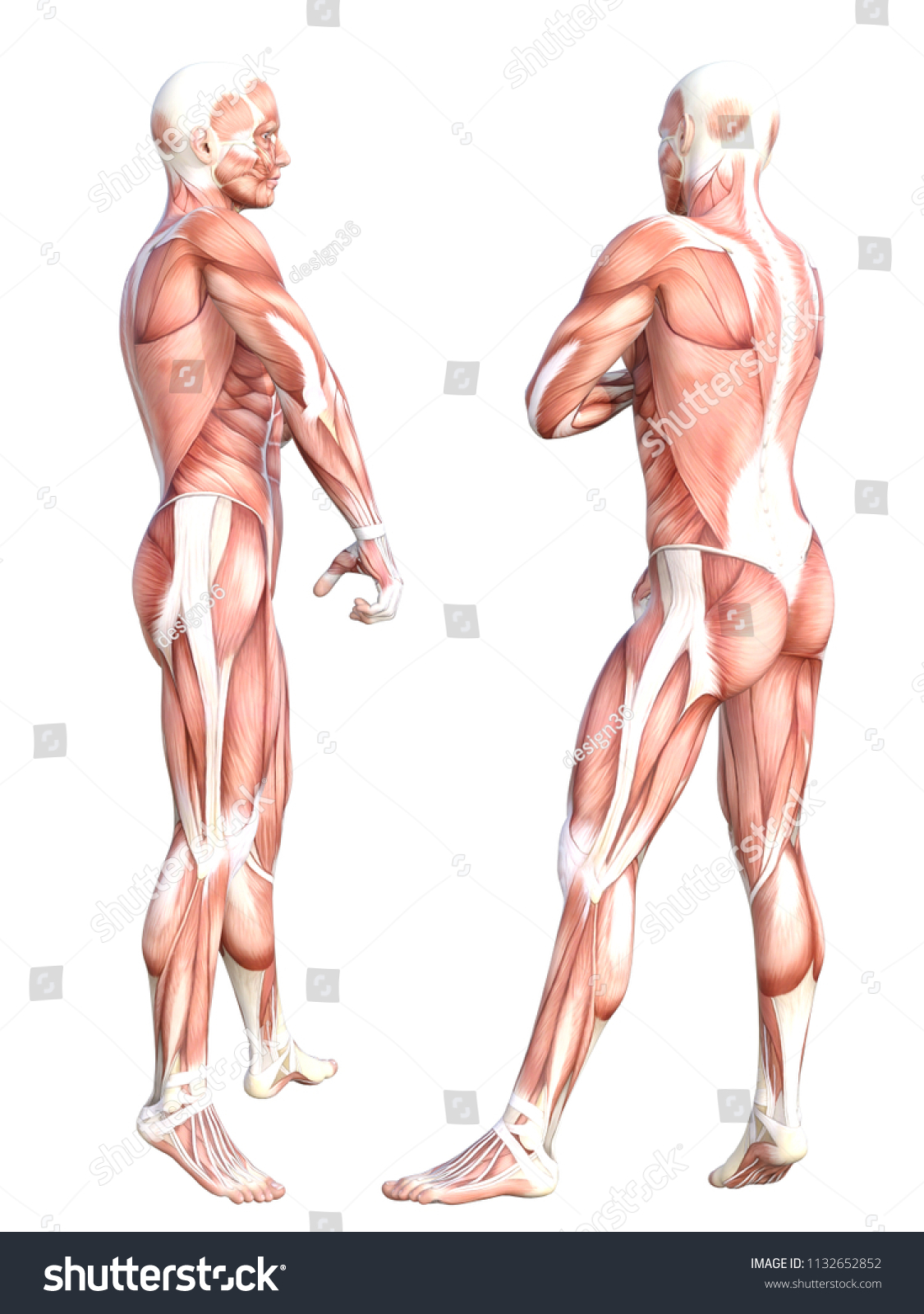 Conceptual Anatomy Healthy Skinless Human Body Muscle System Set